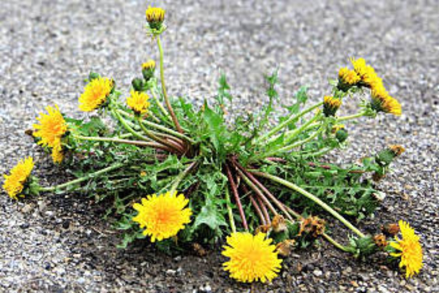 The Dandelion Question